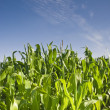 Fresh green corn crops — Stock Photo