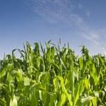 Fresh green corn crops — Stock Photo