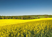 Oilseed Rape, Canola, Biodiesel Crop — Stock Photo