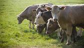 Healthy cattle livestock, Idyllic Rural, UK — Stock Photo