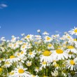 Crazy daisy's — Stock Photo #24823145
