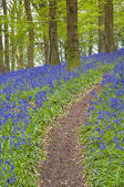 Magical forest and wild bluebell flowers — Stock Photo