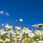 Crazy daisy's — Stock Photo