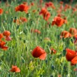 Wild poppies — Stock Photo