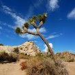 Joshua tree — Stock Photo
