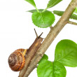 Garden snail on a branch, isolated on white — Stock Photo #27428167