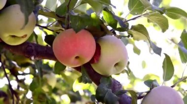 One red apple among green apples — Stock Video
