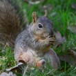 Squirrel gnaws nut — Stock Video