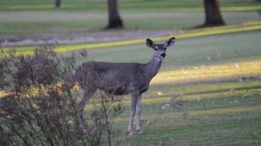 Three deer graze — Stock Video