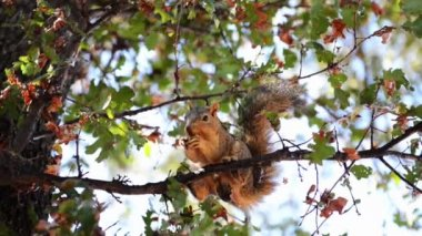 Squirrel chews on a branch of nuts — Stock Video