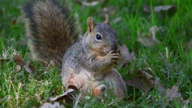 Squirrel gnaws nut — Stock Video