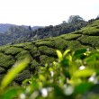 Tea plantation in Cameron Highlands, Malaysia — Stock Photo