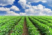 Zelené řádky na poli a jasná obloha. — Stock fotografie