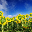 Sunflowers on background blue sky. — Foto de Stock