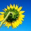 Sunflower on blue sky. — Foto de Stock