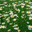 Daisywheels field - Stock Photo