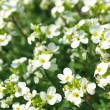 Spring white flowers — Foto de Stock
