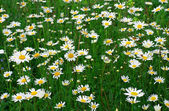 Daisywheels field — Stock Photo