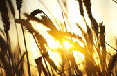 Wheat ears in the sunshine — Stock Photo