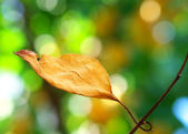 Autumn leaf on a tree — Stock Photo