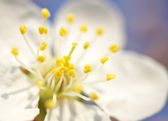 Flower blossom close up — Stock Photo