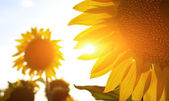 Sunflowers in sunshine — Stock Photo