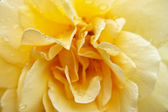 Drops on the yellow rose — Stock Photo