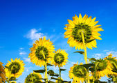 Big beautiful sunflowers — Stock Photo
