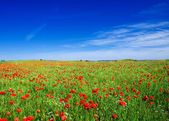Field with red poppy — Stock Photo