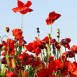 Flowers of the poppy — Stock Photo