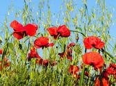 Flowers of the poppy — Stock Photo