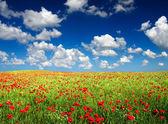 Bright poppy field. — Stock Photo