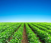 Green rows on field. — Stock Photo