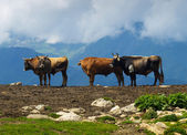 Cows on background of the mountains. — Stock Photo