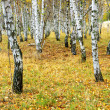Birches in autumn wood.  — Stock Photo