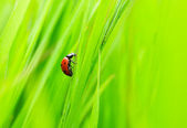 Ladybug creeps on herb — Stock Photo