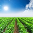 Rows on the field. Agricultural landscape — Stock Photo