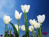 Bright white tulips — Stock Photo