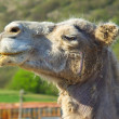 Head of the camel on farm.  — Stock Photo
