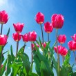 Bright pink tulips on background blue sky. — Stock Photo #31453185