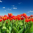 Bright red flowers on background sky — Stock Photo
