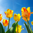Bright yellow tulips on background blue sky — Foto Stock