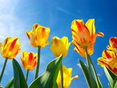 Bright yellow tulips on background blue sky — Stock Photo