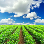Green rows on field and sunshine — Stock Photo
