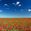 Field with tulips and bright blue sky — Stock Photo