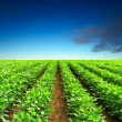 Rows on field — Stock Photo