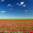 Tulips on the field and cloudy sky — Stock Photo