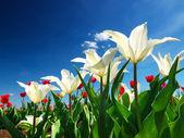 Bílé tulipány — Stock fotografie