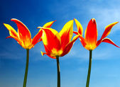 Tulips on the field and cloudy — Stock Photo