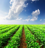 Green rows on field — Stock Photo